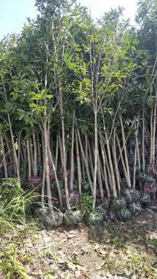 这是一张关于丹桂 的产品图片