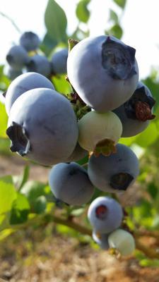 这是一张关于兔眼蓝莓 4 - 6mm以上 鲜果 的产品图片