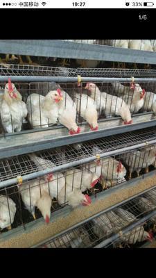 这是一张关于579鸡 4-5斤 公 的产品图片