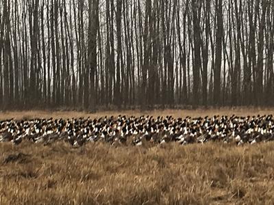 这是一张关于湖鸭 公 全散养 3-4斤 的产品图片