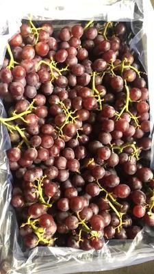 山东省烟台市龙口市巨峰葡萄 1.5- 2斤 5%以下 1次果