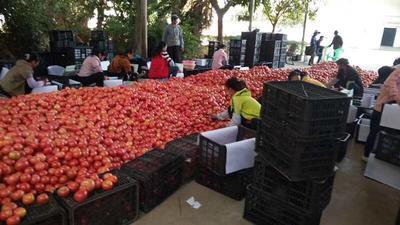 河北省保定市莲池区硬粉番茄 通货 弧二以上 硬粉