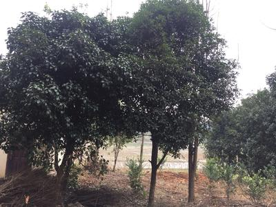广西壮族自治区桂林市兴安县银杏实生树