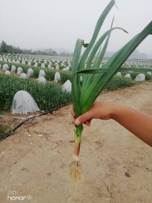广东省江门市新会区红根蒜苗 50 - 60cm
