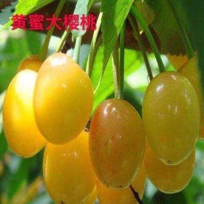 这是一张关于黄蜜樱桃苗 的产品图片