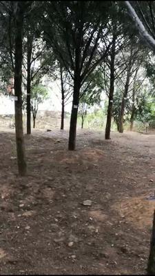 广东省河源市龙川县南方红豆杉 3.5米~5米