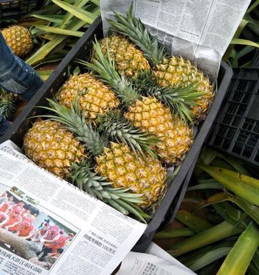 河南省开封市兰考县徐闻菠萝 1 - 1.5斤