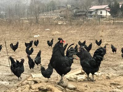 陕西省汉中市略阳县乌骨土鸡 2-3斤