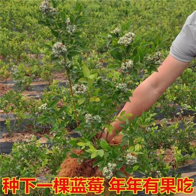 江苏省宿迁市沭阳县兔眼蓝莓苗
