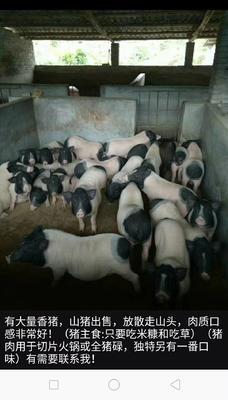 广东省阳江市阳春市巴马香猪 80斤以上