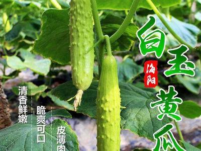山东省烟台市莱山区白玉黄瓜 15~25cm
