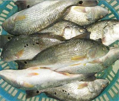 福建省漳州市东山县美国红鱼 1.5-2.5公斤 人工养殖 各种规格大小都有货