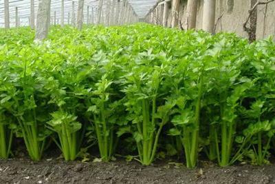 甘肃省定西市临洮县毛芹 40~45cm 0.5~1.0斤 大棚种植
