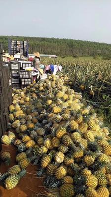广东省湛江市雷州市徐闻菠萝 2.5 - 3斤
