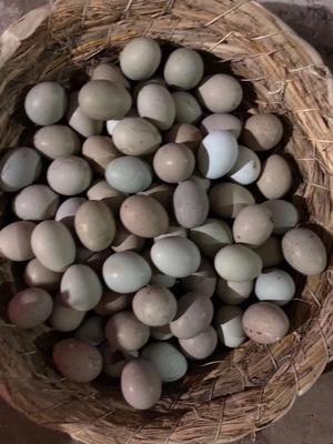 河北省石家庄市行唐县芦丁蛋 孵化 孵化用