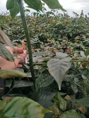 这是一张关于钩藤苗 的产品图片