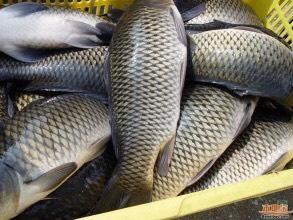 重庆永川区池塘鲫鱼 0.25-1公斤 人工养殖