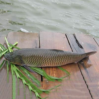重庆永川区池塘草鱼 人工养殖 0.25-1公斤