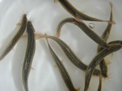 重庆永川区台湾泥鳅苗