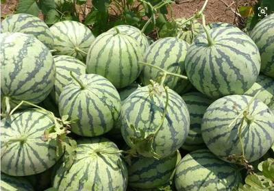 河南省周口市扶沟县龙卷风西瓜 8斤打底 8成熟 1茬 有籽