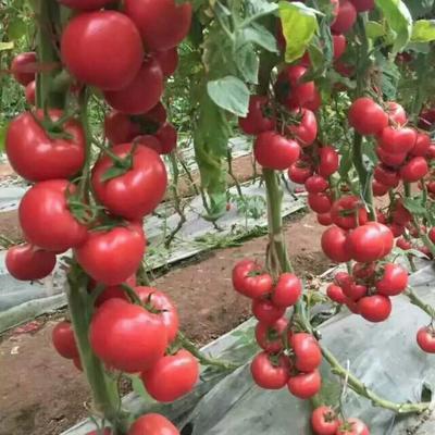 这是一张关于硬粉番茄 通货 弧二以上 硬粉 的产品图片