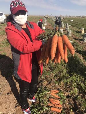 内蒙古自治区乌兰察布市察哈尔右翼中旗红誉系列胡萝卜