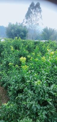 这是一张关于果园 转让 5年 35亩 的产品图片