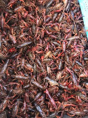 这是一张关于青红虾 2-4钱 人工殖养 的产品图片