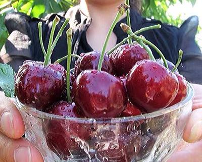 这是一张关于俄罗斯8号樱桃苗 2-5 公分大树的产品图片