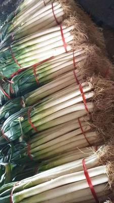 辽宁省葫芦岛市兴城市长白大葱 混装通货 毛葱