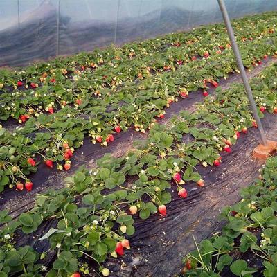 山东省烟台市海阳市甜宝草莓 20克以下