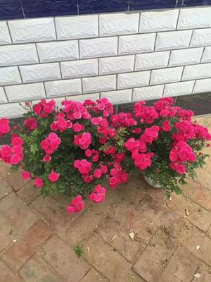 这是一张关于多苞蔷薇 蔷薇花蓝带盆的产品图片