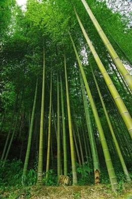 这是一张关于楠竹 的产品图片