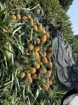 海南省万宁市万宁市海南菠萝 2.5 - 3斤