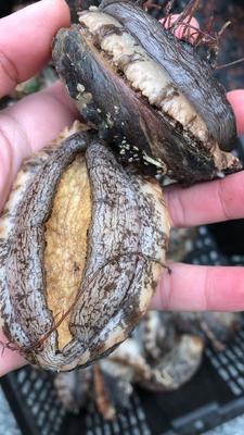 这是一张关于绿盘鲍 人工殖养 的产品图片