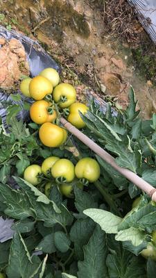 广西壮族自治区百色市田东县大红西红柿 通货 弧三以上 大红