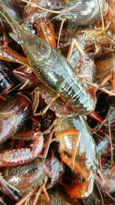 湖南省郴州市苏仙区清水小龙虾 9钱以上 人工殖养