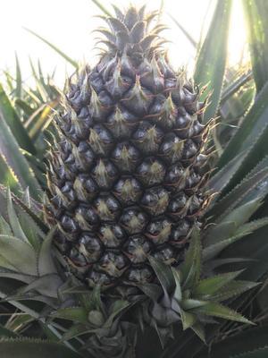 海南省万宁市万宁市海南菠萝 2.5 - 3斤 红毛萝 共有200亩
