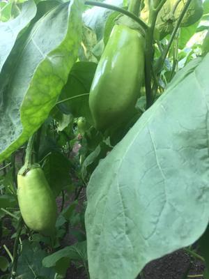 辽宁省葫芦岛市绥中县青茄 20~30cm 长茄