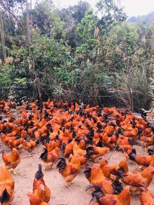 这是一张关于阉鸡 5-6斤 统货 的产品图片