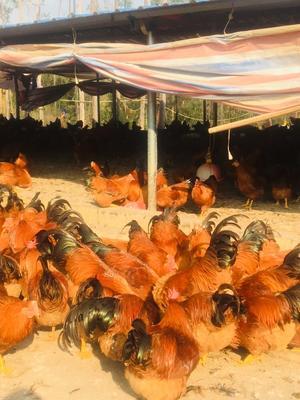 广西壮族自治区钦州市浦北县阉鸡 5-6斤 公