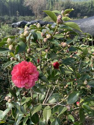 浙江省台州市黄岩区茶花球 140cm以上