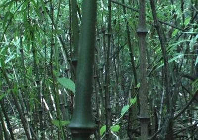 这是一张关于罗汉春笋 鲜笋 的产品图片