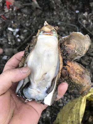 这是一张关于惠州生蚝 2-3两/只 人工殖养 的产品图片
