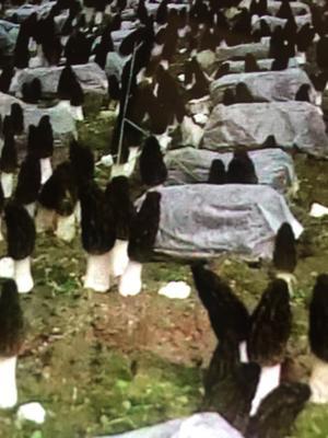 这是一张关于羊肚菌 鲜货 3cm以下 尖顶 灰黑色 人工种植 的产品图片