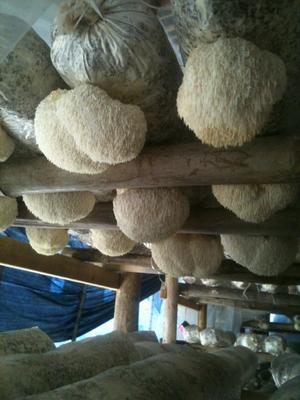 这是一张关于古田猴头菇 3cm~6cm 干猴头菇 的产品图片