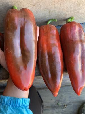 云南省红河哈尼族彝族自治州蒙自市甜椒 20cm以上 甜辣 红色