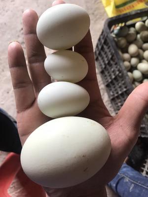 广东省汕尾市陆丰市青皮鸭蛋 散装 食用