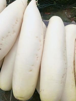 重庆丰都县白萝卜 1~1.5斤