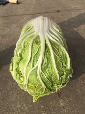 山东省潍坊市奎文区黄心大白菜 6~10斤 净菜